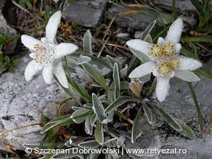 Havasi gyopár (Leontopodium nivale)