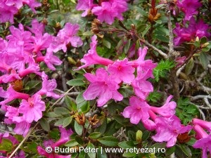Erdélyi havasszépe (Rhododendron kotschyi)